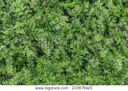 Carpet Of Natural Flowering Plants, Grass With Small Leaves. Green Floral Background.