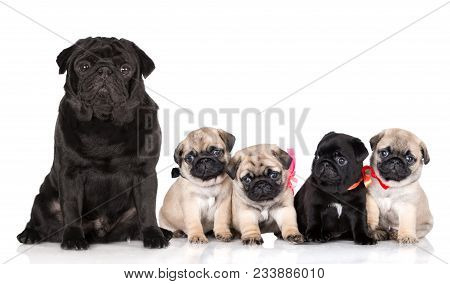 Group Of Adorable Pug Puppies On White