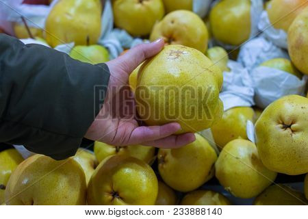 Deveci Pears. The Wild Pear Tree Grows With Its Inoculation. Pears Specific To Turkey