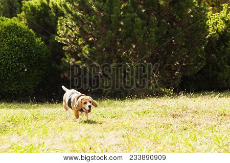 Beagle Dog Is Running In The Park, Green Grass At Summer Day