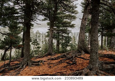 The Roots Of The Trees And The Yellow Needles Of The Cedar Forest