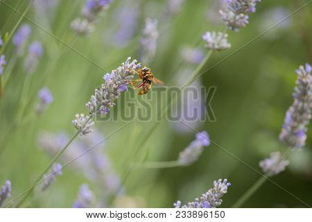 Closeup Of Hornet On Lavender Flower Horizontal View