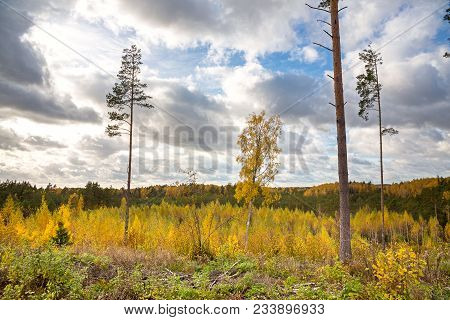 Colorful Autumn Landscape Golden Autumn. Ship Pine And Yellow Birch Trees Against The Sky. Place Cut