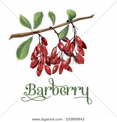 Barberry For Lables, Posers, Postcards And Others