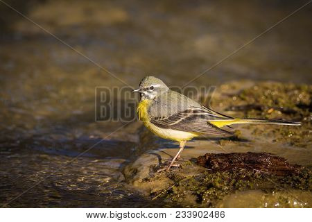 The Grey Wagtail Is More Colourful Than Its Name Suggests With Slate Grey Upper Parts And Distinctiv