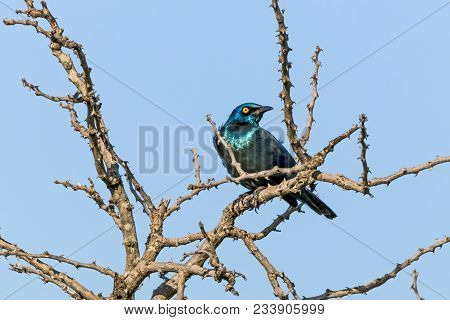 Glossy Starling Bird Perched On Dry Leafless Tree Branches