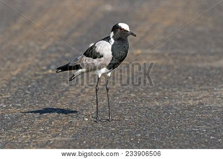 Single Blacksmith Plover At Imfolozi Hluhluwe Game Reserve