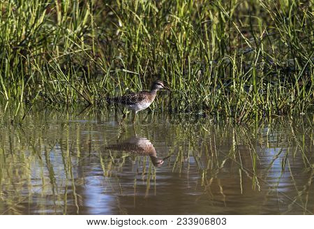 Spotted Wild Thick-knee Bird Standing In Water