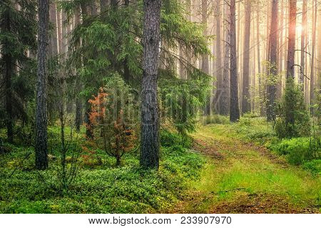 Summer Green Forest Landscape In The Morning At Sunrise. Sun Lights Through Trees. Natural Woodland.