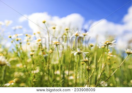 Camomile Flowers On Green Summer Meadow In Bright Sunny Day. Meadow Flowers Background. Summer Natur
