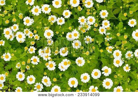 Flowers Feverfew (tanacetum Parthenium) In Garden, Top View