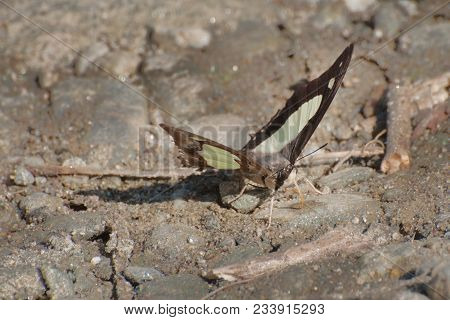 Lime Butterfly (papilio Demoleus Linnaeus) Mud Puddling , Ie, Sucking Up Fluid From Moist Area. Imag