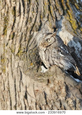 Close Up Image Of An Eastern Screech Owl, Perched In An Oak Tree Cavity, Camouflaged.