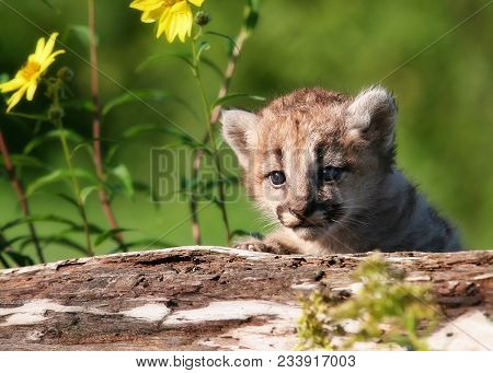 Young Mountain Lion, Cougar Or Puma Kitten.