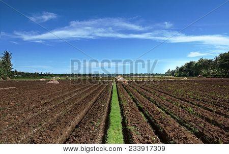The Line Of Onion Field At Bantul Regency