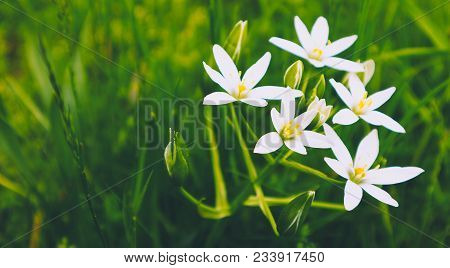 Meadow Flowers, Mountain Nature, Summertime. Photo Depicts A Bush Of White Mystic Meadow Flowers, Gr