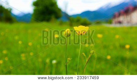 Meadow Flowers, Mountain Nature, Summertime. Photo Depicts A Plenty Of The Yellow Colorful Meadow Fl