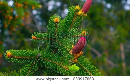 Photo Depicting A Bright Evergreen Pine Three With A New Small Red Cones. Little Tiny Cute Colorful