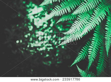 Beautiful Colorful Bright Green Fern Leaves Background. Exotic Fern Frond Leaf Texture In The Forest