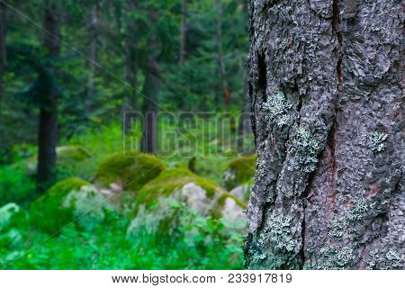 Mossy Thee Trunk Closeup, Mystical Pine Woods On The Background. Photo Depicts An Old Pine Tree Bark