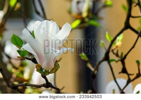 White Flower Of Magnolia Tree Blossom Close Up. Lovely Springtime Background On A Bright Day
