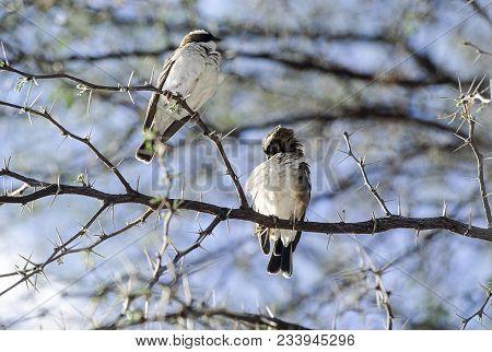 A Couple Of Whitebrowed Sparrow-weaver (plocepasser Mahali) On A Acacia Tree,  Hwange National Park,