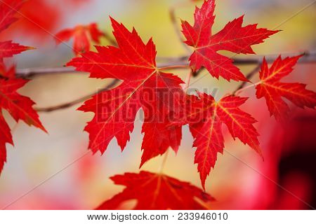 Branch With Red Maple Leaves. Canada Day Maple Leaves Background. Falling Red Leaves For Canada Day