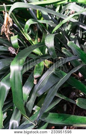 Green Spikey Leaves Of Aechmea Miniata Bromeliaceae From Brasil