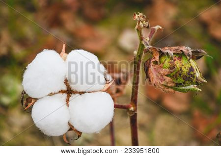 Cotton Plant Cotton Boll On Branch In Cotton Field