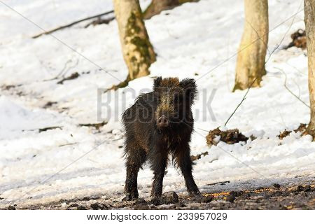 Curious Young Wild Boar In Winter Forest ( Sus Scrofa )