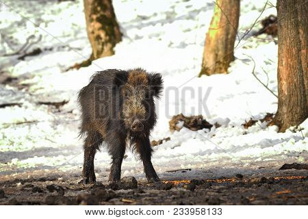 Wild Boar At Winter Feeder ( Sus Scrofa ); To Help The Animals In The Cold Season, The Hunters Feed