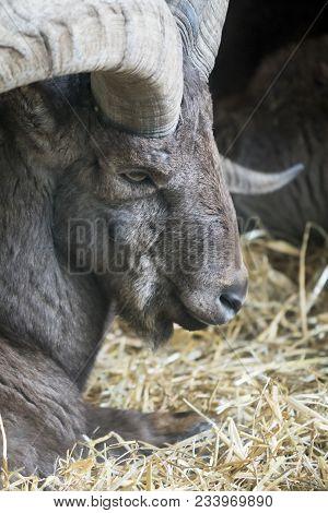 Portrait Of A Bighorn Sheep. Close-up Of A Bighorn Sheep Head.