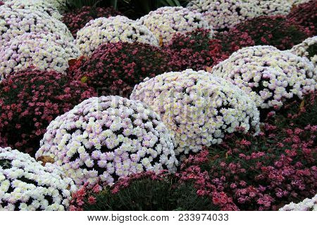 Gorgeous Pink And White Lush Mum Plants, Blossoms Open Under Warm Sunshine Of Fall.