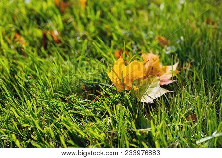 Natural Background With Green Grass And Yellow Leaves. Autumn Lawn With Fallen-down Foliage. Bright