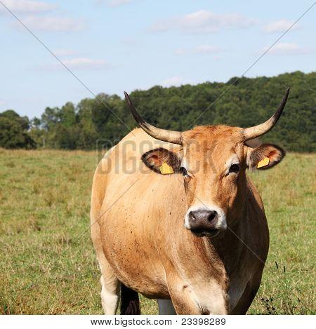 Gentle Parthenaise Cow