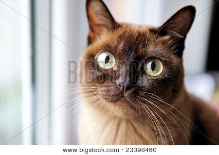 A Closeup Portrait Of Young Burmese Cat
