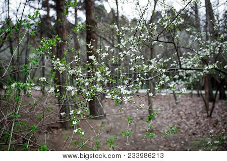 White Small Flowers On Tree In Spring Time. Closeup Image.