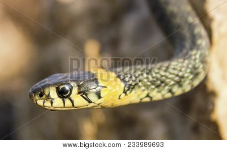 Natrix. Portrait Of A Snake Crawling On A Stone, Close Up.