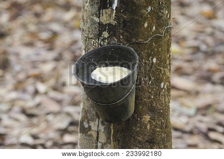 Rubber Latex Extracted From Rubber Tree , (hevea Brasiliensis) As A Source Of Natural Rubber.