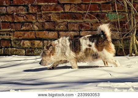 Mongrel Runs Through The Snow Against The Background Of The Old Brick Wall