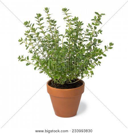 Brown terra cotta pot with fresh Oregano isolated on white background