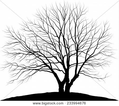Vector Illustration Tree. Silhouette Of Oak Without Leaves