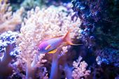 Sea goldie fish on pink coral and stone background. poster