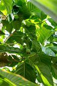 big topic green leaf of calathea marantaceae from brazil poster