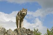 Timber wolf on ridge against a blue sky poster