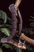 Blandings tree snake attacking from tree branch poster
