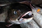 Full box of fresh catched fish close up poster
