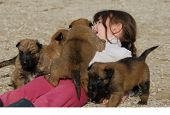 little girl and her four puppies belgian shepherd poster