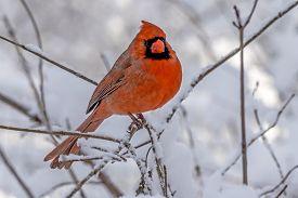 Northern Cardinal ,cardinalis Cardinalis, Is A North American Bird In The Genus Cardinalis; It Is Al