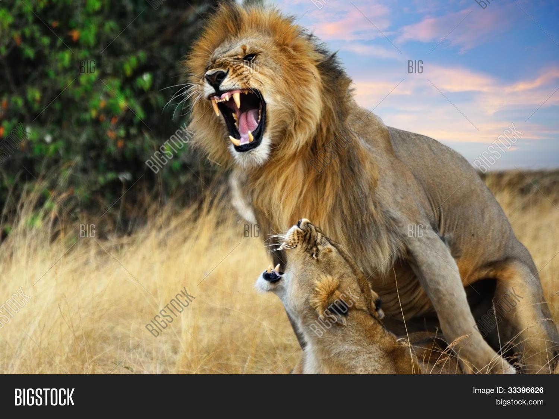 Imagen y foto apareamiento de leones bigstock - Leones apareamiento ...